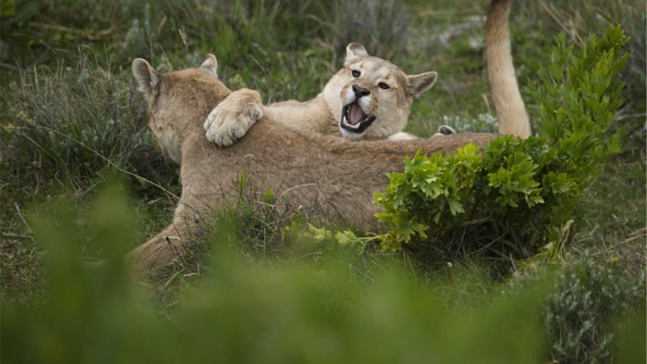 felinos peleandose