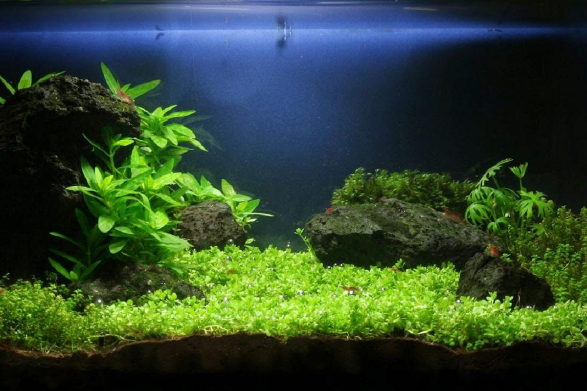 nano akvariumo augalai